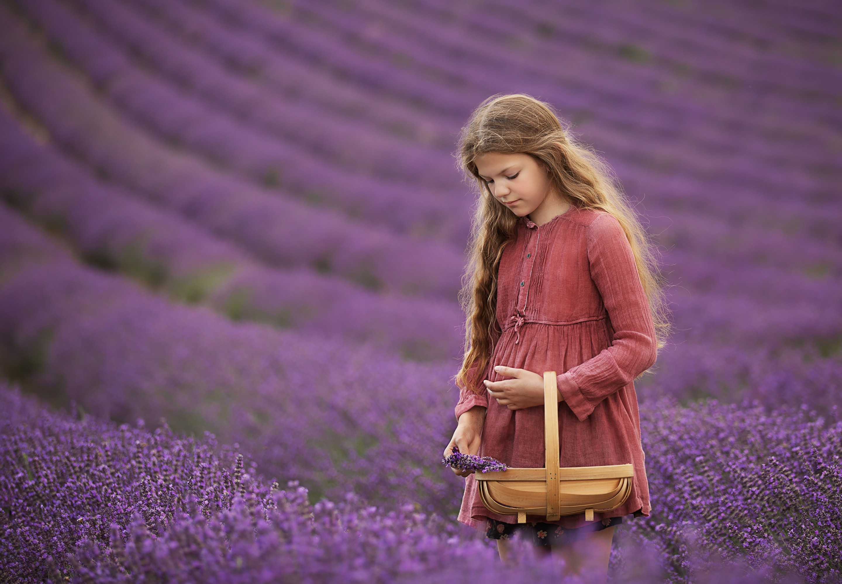 long haired girl picking lavender in a field of Lavender